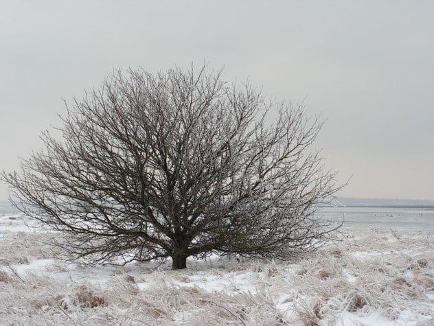 Vildæbletræ, vinter