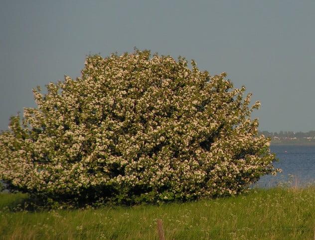 Vildæbletræ, sommer
